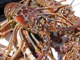 lobstermini-029.jpg