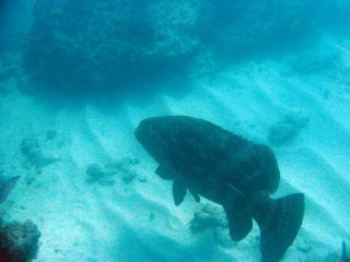 Jewfish, Goliath Grouper