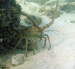 spiney-lobster.jpg
