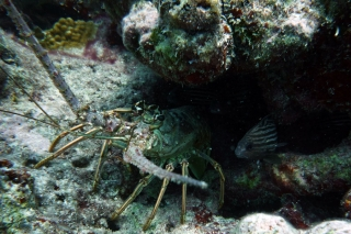 spiny-lobster