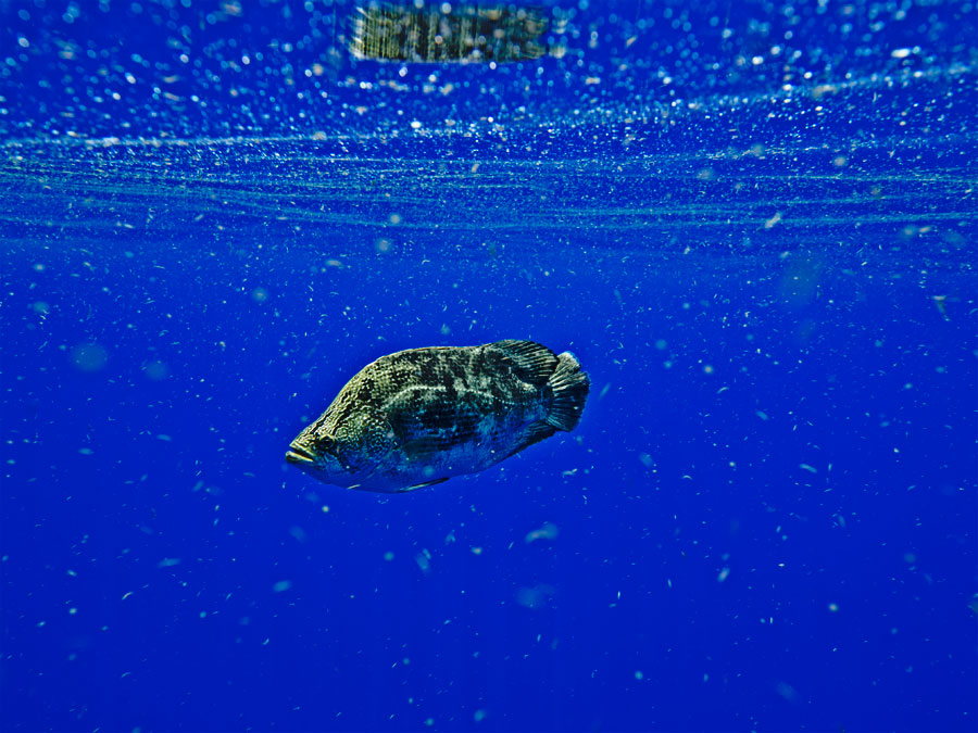 Blue water bust key west spearfishing reports pictures for Triple tail fish taste
