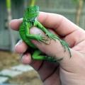 baby iguana 003.jpg