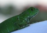 baby iguana 012.jpg