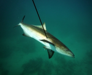andy-cobia-070