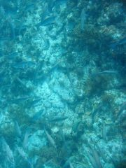 mangrove snapper spawning