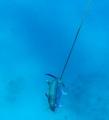 spearing mackerel