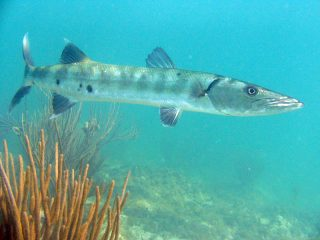 great-barracuda.jpg